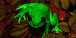 Bilim İnsanları Güney Amerika'da Karanlıkta Parlayan Bir Kurbağa Cinsi Buldu!