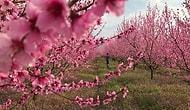Japonlar'ın Sakurası Varsa Bizim de Rengarenk Çiçekleriyle Bir Güzelliğimiz Var: Pamukova