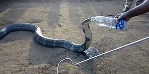 Devasa Kobraya Pet Şişeden Su İçiren Cesur İnsanlar