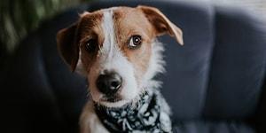 Köpek Sahipleri Buraya: Yavrunuz İstediğini Elde Etmek İçin Sizi Kandırıyor Olabilir!