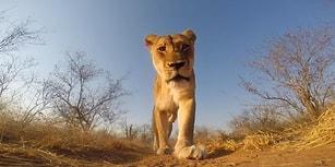 Çaldığı GoPro'yla Kendine Mini Belgesel Çeken Aslan