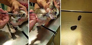 İnsanın İçini Parçalayan Görüntülerle Yavru Bir Kedinin Vücudundan Larva Çıkartılma Anı