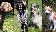 Hayvanseverleri Kendine İlk Bakışta Aşık Edecek Dünyanın En Nadir Görülen 21 Köpek Cinsi