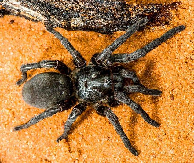 Cape York bölgesi, Avustralya'da en çok örümcek barındıran bölge.