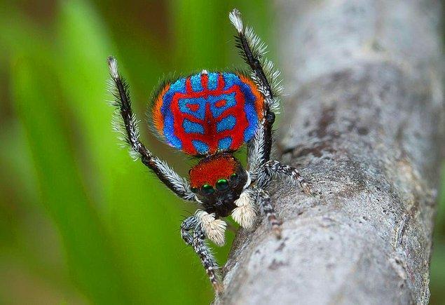 Australian Geographic ile yapılan bir röportajda, dört örümcek bilimciden biri, örümceklerdeki çeşitliliğin insanların aklını başından aldığını belirtti.