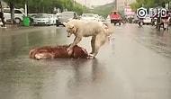 Araba Çarpan Arkadaşını Yolun Ortasında Uyandırmaya Çalışan Köpeğin İç Burkan Görüntüsü