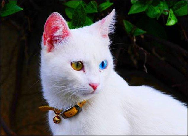 Hatta bazı türlerde, mesela Van Kedisi, heterokromi aranan bir özelliktir ve korunmaya çalışılır.