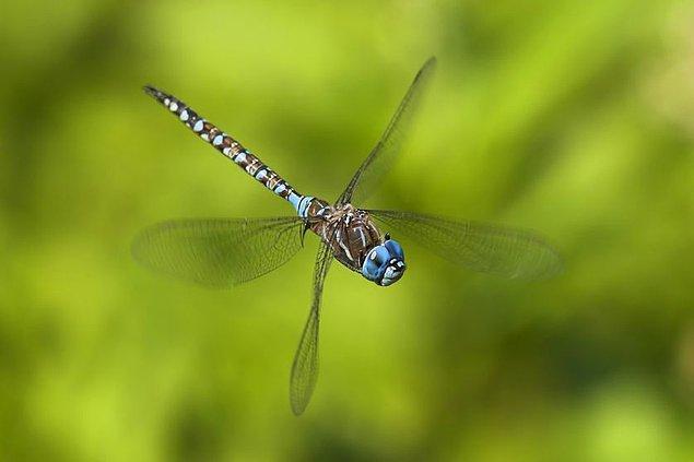 Gözlemlere göre dişi yusufçuklar, erkek yusufçuklar tarafından kovalanırken birden bire yere doğru yöneliyorlarmış.