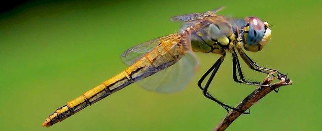Daha sonra spesifik olarak bu hareket üzerine odaklanan araştırmacı, her seferinde dişilerin bir süre sonra uçmaya başladıklarını gözlemlemiş.