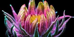 Ultraviyole Işığın Altında Fotoğraflanınca Parlak Renkleriyle Göz Kamaştıran 20 Çiçek
