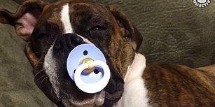 Oldukça Duygusal Yapıya Sahip Boxer Köpeklerini Sevmek İçin Birçok Neden!