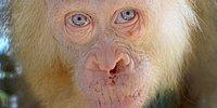 Endonezya'dan Oldukça Nadir Bir Konuğumuz Var: Albino Orangutan