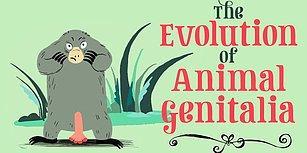 Hayvan Üreme Organlarının Evrimi