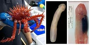 Penis Değil Solucan! Avustralya Okyanusunun Derinlerinde Henüz Keşfedilmiş Tuhaf Canlılar