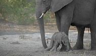 Yeni Doğan Yavru Filin İlk Defa Ayaklarının Üzerinde Durmaya Çalıştığı Anlar
