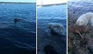 Boğulmak Üzere Olan Yavru Geyiği Kurtaran Kahraman Köpek!
