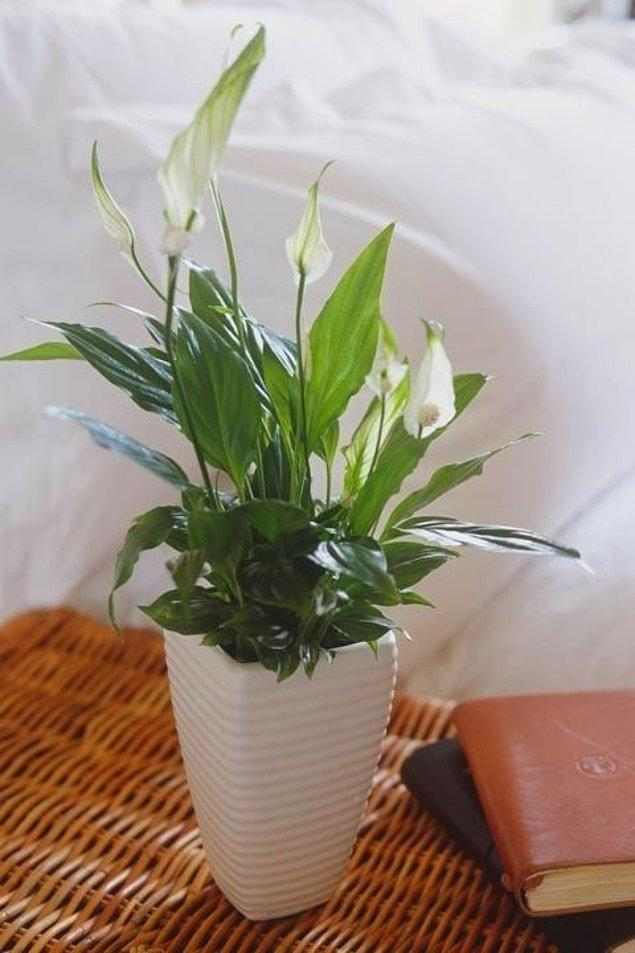 4. Yengeç - Kaşık çiçeği
