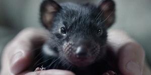 İnsan Dostunu Gittiği Her Yerde Takip Eden Minnoş Tasmanya Canavarı