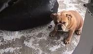 Yaptığı Yaramazlık Sonrası Hatasını Anlayıp Saklanan Sevimli Köpek