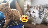 Selkrik Rex: Bir Barınak Kedisinden Üreyerek Bugünlere Kadar Gelen Kıvırcık Tüylü Minnoşlar