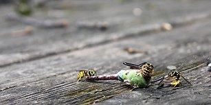 Doğa Yine Bildiğiniz Gibi: Yusufçuğu Parça Parça Eden Eşek Arıları