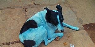 Doğada Yarattığımız Tahribatın Ürkütücü Sonuçlarından Biri: Mumbai'nin 'Mavi Köpekleri'