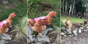 İskoçya'da Tavukların Güvenliğini Sağlamak İçin Pembe Yelek Giydiren İşletme