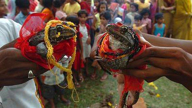 5. Kurbağalar evlendirilir.