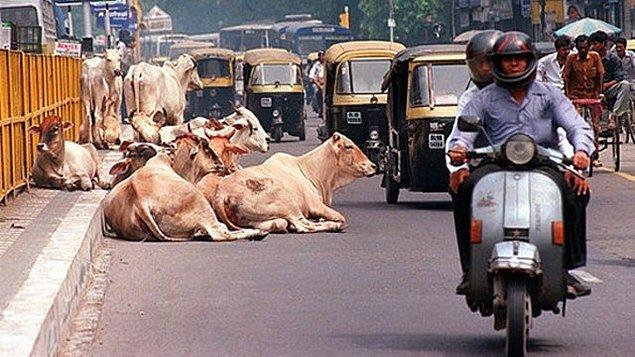 20. Hindistanlılar ineklere tapmaz ama inekler kutsal kabul edilir.