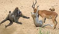 Vahşi Doğanın Kahraman Babunları, İmpalayı Çitanın Elinden Kurtardı!