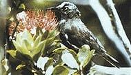 Nesli Tükenen Kauai Kuşunun Son Şarkısı