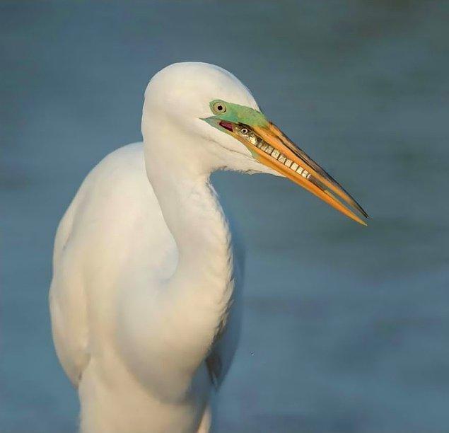 24. Breakfast, Great Egret (Kahvaltı, Büyük Ak Balıkçıl) - Cheryl Schneider, ABD, Detaya Verilen Dikkat Kategorisi