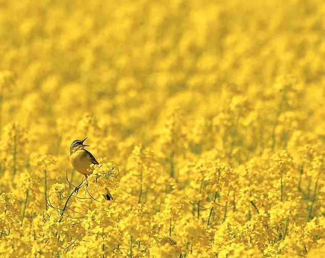26. All In Yellow, Blue-headed Wagtail (Sarılar İçinde, Sarı Kuyruksallayan) - Robert Szafranek, Polonya, Çevredeki Kuşlar Kategorisi