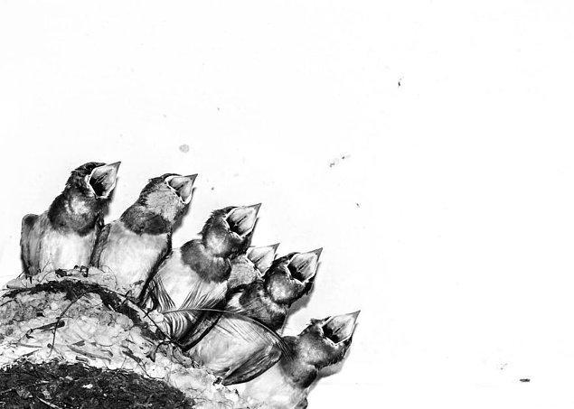 29. Swallow Chicks In Nest (Yuvadaki Kırlangıç Yavruları) - Joseph Anthony, Yaratıcı İmgeler Kategorisinde Şeref Ödülü