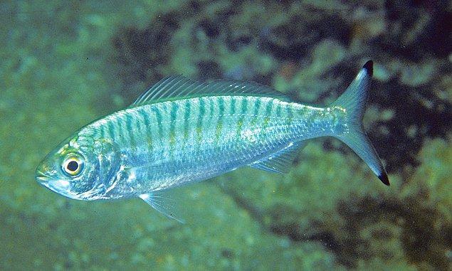 14. Ringa balığı da su altında gaz çıkararak iletişim kuruyor.