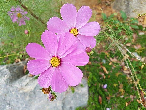 Evren çiçeği
