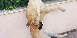 Bugün Hayvanları Koruma Günü: Antalya'da Üç Köpeği Zehirleyip Tel Örgüye Astılar!