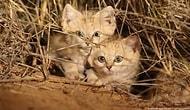 Vahşi Doğada İlk Defa Görüntülenen Kum Kedisi Yavruları