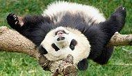Durdukları Yerde Durmayan Pandaların İnsanın Yüzünde Gülücükler Açmasını Sağlayan Düşme Görüntüleri