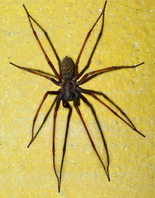 Spreyi haftada bir sıkmanız gerekiyor, ancak örümcekler bir haftadan önce ortaya çıkarsa bu süreyi birkaç günde bire düşürmeniz gerekiyor.