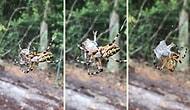 Örümceğin, Ağındaki Kurbağayı Saniyeler İçinde Paket Yapması