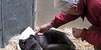 Ölmek Üzere Olan Şempanzenin Eski Dostunu Gördüğünde Yaşadığı Büyük Sevinç