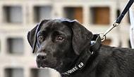 Patlayıcı Tespit Etmek İlgisini Çekmedi: CIA Tarafından 'Görevden Alınan' Köpek Lulu