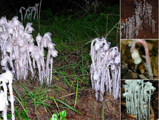 """15. Hayalet Bitkisi ya da """"Monotropa uniflora""""nın beyaz renginden de anlaşılacağı gibi klorofili yok, parazit olarak diğer mantarlardan geçiniyor."""