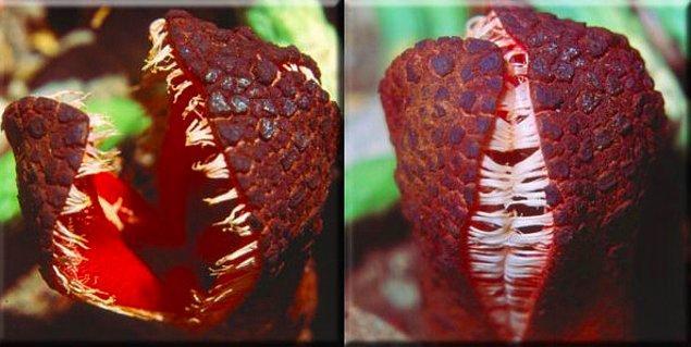 """16. Klorofili olmayan diğer bir bitki de pirana bitkisi ya da bilimsel adıyla """"Hydnora africana."""" Diğer bitkilerin kökleri sayesinde parazit yaşam sürebiliyor."""
