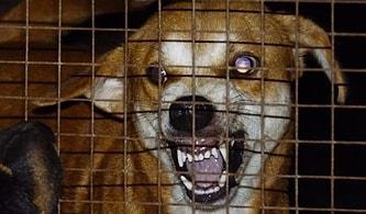 Kuduz Virüsü Sevimli Dostlarımız Köpekleri Nasıl Acımasız Birer Katile Dönüştürüyor?