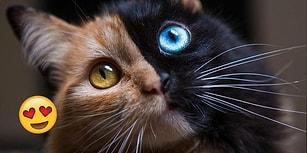 Genetik Oluşumu Sonucu Vücudunun İki Yarısı Apayrı Renkler Alan Güzeller Güzeli Minnoş