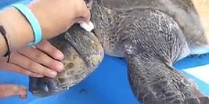 Kendiniz Kurtulmuş Kadar Sevineceksiniz: Deniz Kaplumbağasını Boynuna Dolanan İpten Kurtaran Güzel İnsanlar