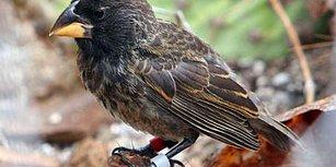 Darwin Olsa Duygulanırdı! Yeni Bir Kuş Türü Resmen Gözler Önünde Evrimleşti