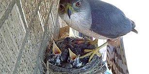 Yuvadan 14 Günlük Yavru Kuşları Çalan Şahin